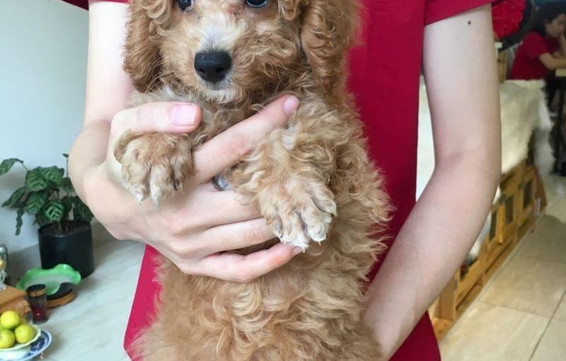 Cách nuôi chó Poodle 2 tháng tuổi phù hợp nhất