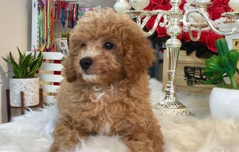 Chó Poodle ăn gì đẹp lông? Địa chỉ mua chó chất lượng